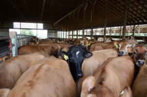 θερμικό στρες (heat stress) των αγελάδων